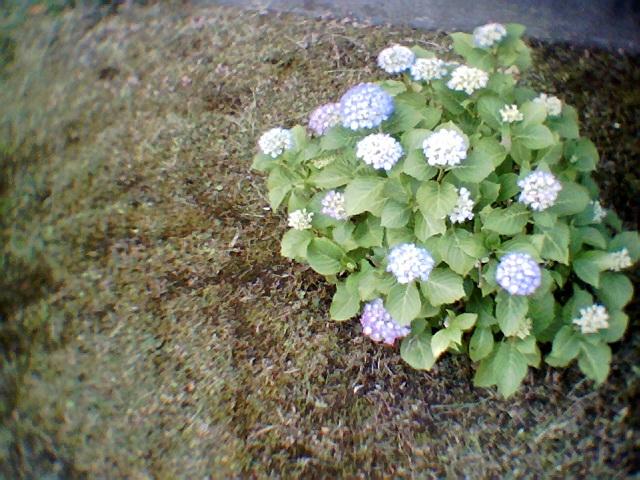 ビスケット紫陽花