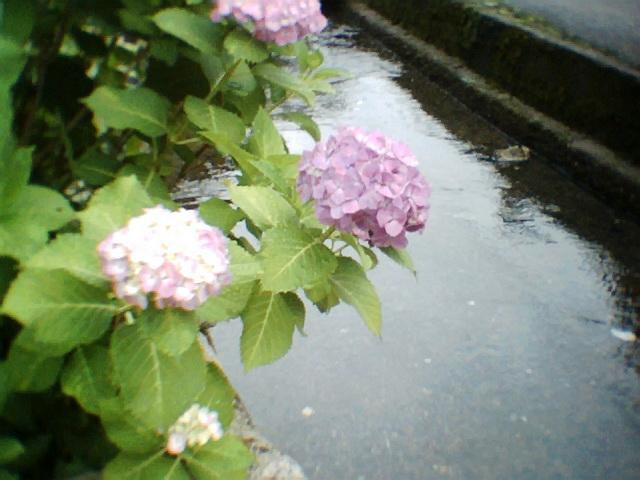 紫陽花と川